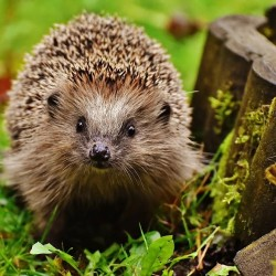 hedgehog-1759027_960_720